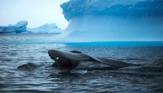 Humpback whale Antarctica