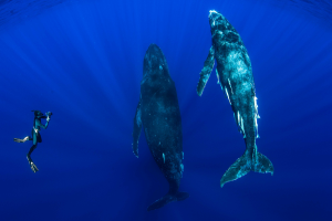 snorkeller face to face with a humpback whale underwater on tour with Swimming With Gentle Giants