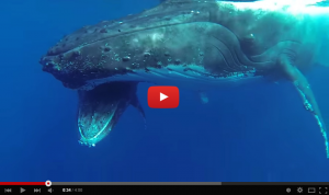 Video of humpback whales in Tonga
