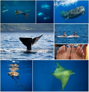 azores photo collage dolphins sperm whales turtles mobula rays