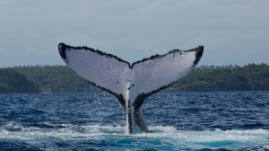 Humpback whale fluke - an example of a tail shot for identification in the Tongan Fluke database