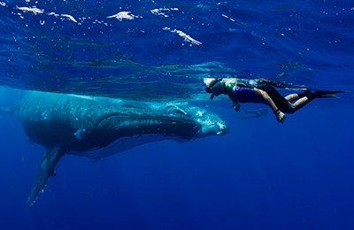 A swimmer in front of a huge humpback whale, on tour with Swimming with Gentle Giants