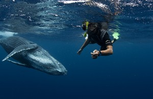 A snorkeller face to face with a humpback whale calf in the waters of Tonga on tour with Swimming with Gentle Giants
