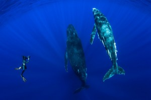 A diver photographing two humpback whales in clear blue water in Tonga