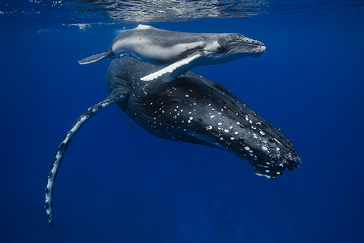 New Born Humpback whale calf