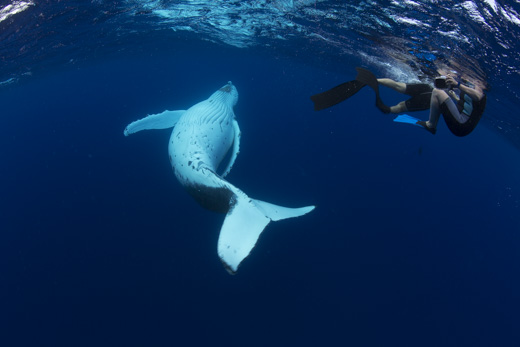 A humpback whale calf, rolling on its back under the water, beside a group of swimmers on tour with Swimming with Gentle Giants
