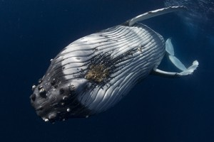 extreme closeup of a Humpback Whale under the water, photographed by Scott Portelli