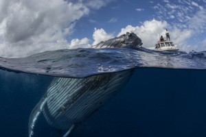 A humpback whale, above and below the water in front of the Whales In The Wild tour boat, photographed by Scott Portelli,