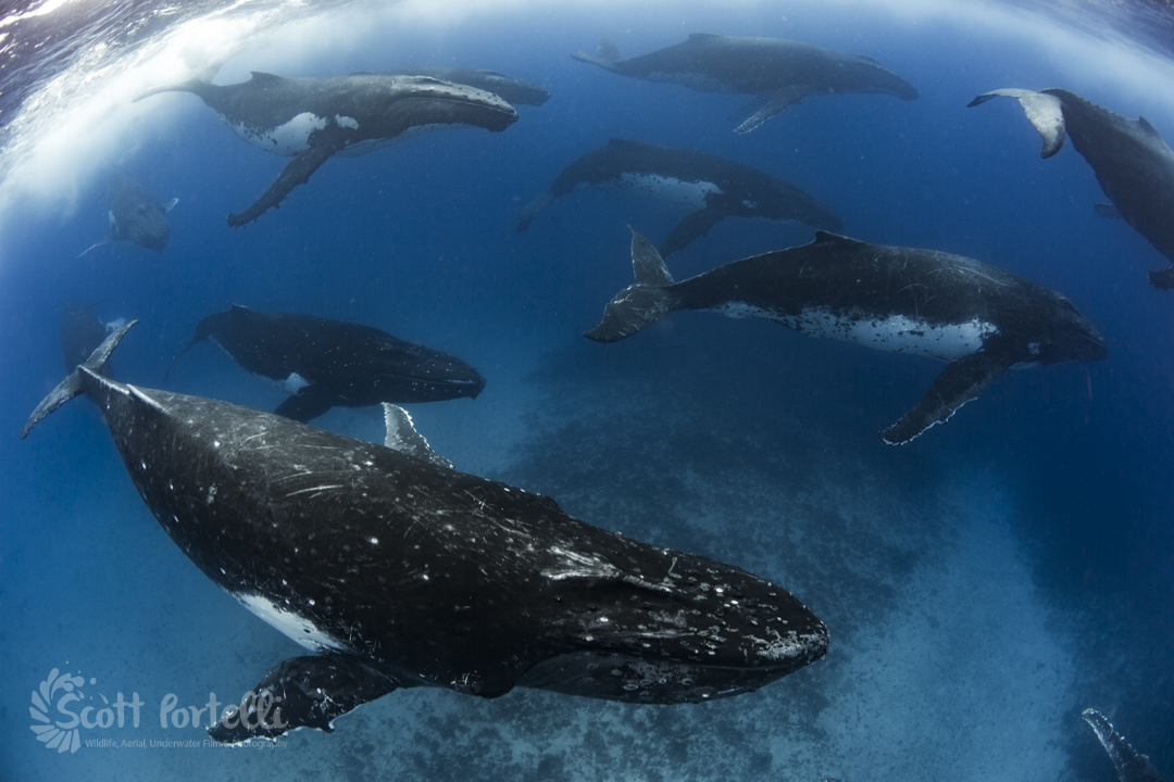 Heat run with more than 10 humpback whales in Tonga by underwater photographer Scott Portelli