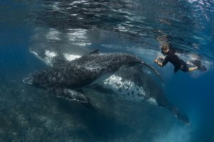 Humpback Whale Mother And Calf And Snorkeller Photographing on Shallow Reef in Tonga