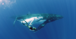 Marine biologist Alice Forrest freediving with a mother and calf humpback whale in Tonga. Nadia Aly.