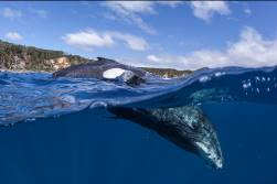 humpback whale underwater on tour with Swimming With Gentle Giants