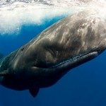 Sperm whale up close captured in the Azores by underwater photographer Scott Portelli