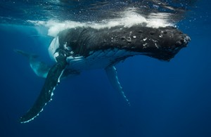 A humpback whale up close to the camera photographed by Scott Portelli