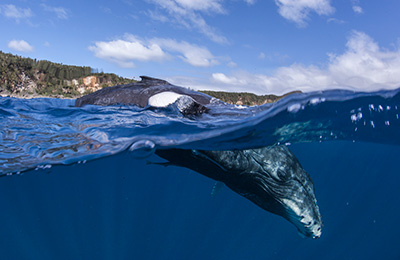 Over under photographer capturing a humpback whale calf under the water, and dorsal fin out of the water with Tongan island in background