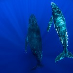 A photographer underwater in front of a huge humpback whale, on tour with Swimming with Gentle Giants