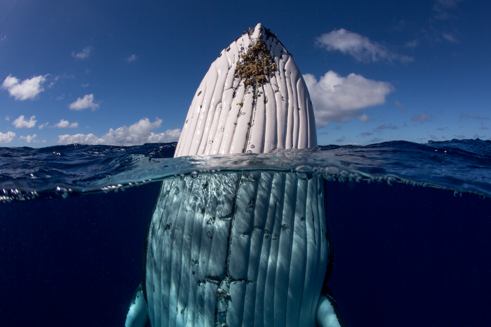 A humpback whale over and under the water, spy-hopping, photographed by Scott Portelli