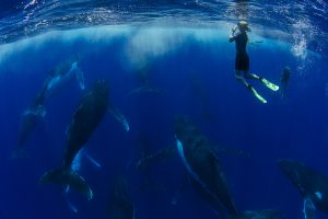 humpback whale heat run with a snorkeller taking photos in Tonga